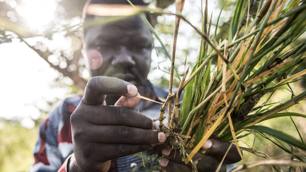 A worker searches amid vegetation for the black flies that spread river blindness.