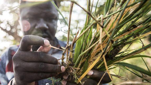 Un uomo sta catturando delle larve di mosche nere